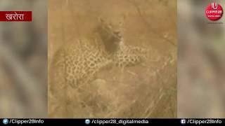 छत्तीसगढ़ खरोरा न्यूज़ : जानवरों का शिकार करने आया तेंदुआ तार में जा फंसा   CLIPPER28