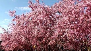 2018全台25處驚豔最佳賞櫻景點+秘境報你知! Taiwan cherry attractions - beautiful cherry