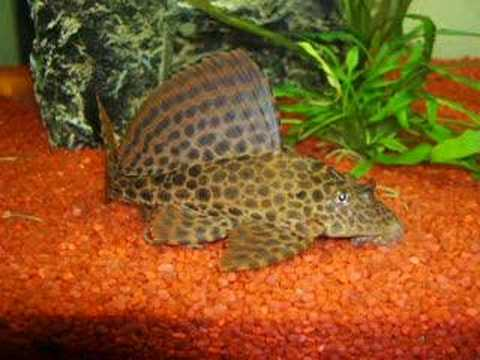 Pet fish care how to clean algae on a fish aquarium for How to clean algae from fish tank