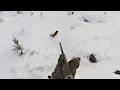 Grytjakt på räv - Fox hunting with terrier - Ketun metsästys