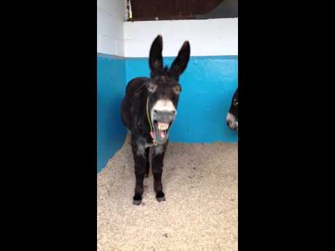 Donkey Laughing video
