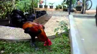 Ayam Pelung Vs Ayam Ketawa