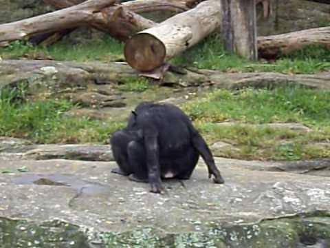 Very butt monkey skank anal