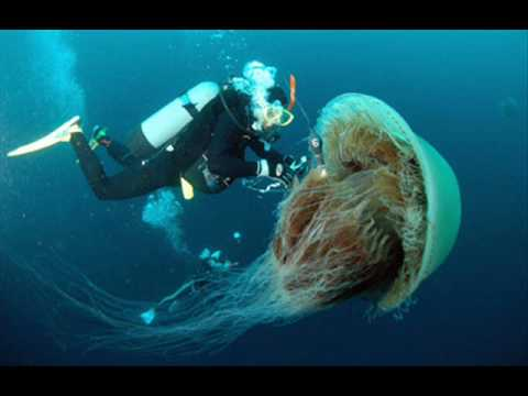 Biggest Jellyfish in the World!!! - YouTube