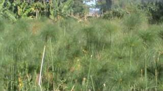 Papyrus Plants.MPG