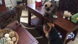 Funny! German Shepherd dog gets put in place by Siamese and Bengal cat
