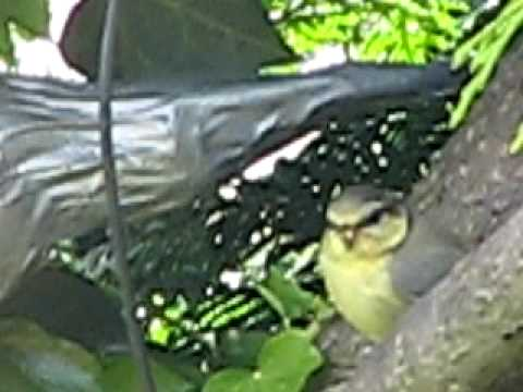 Blue Tit chick being feed by adult ~ British Birds UK ~ wildlife videos