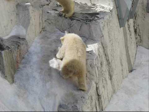 滑る2 (札幌円山動物園、ホッキョクグマの赤ちゃん)