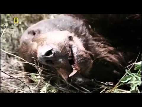 Растерзанные медведи