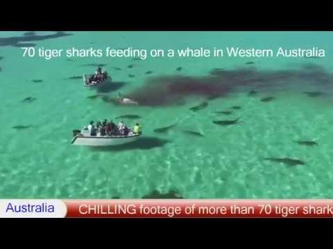 70 tiger sharks feeding on a whale in Western Australia