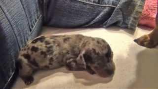 [Puppies First Bark] Video