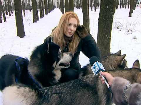 Аляскинские маламуты зимы не боятся