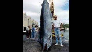 Les plus gros Bleu et Noir Marlin du Monde