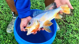 1 in a MILLION Translucent White Peacock Bass FISH CAUGHT in WILD!