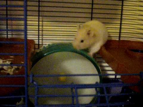 Crazy Hamsters Wheel Crazy Hamster Running on Top