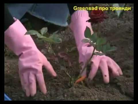 Видео как посадить розу