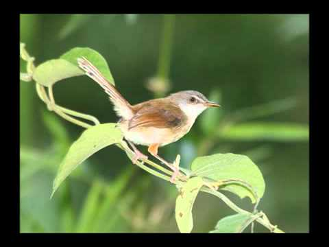 Kicau Burung Ciblek (bangdex.blogspot).flv video
