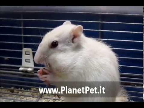 Scoiattolo Striato Tamia Albino PlanetPet.it