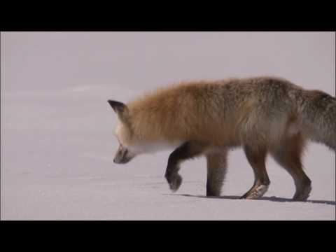 Smart red fox - Hunting under snow in an incredible way