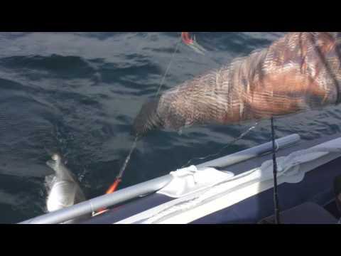 ловля зубатки в баренцевом море
