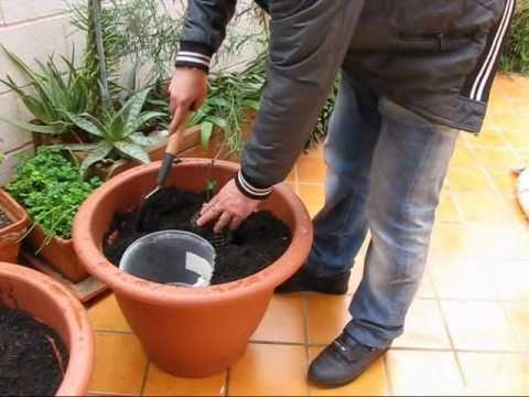 видео как садить киви