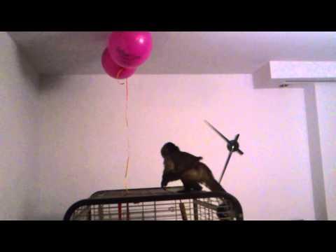 Kiki Malpka Kapucynka - Zabawa Z Balonami