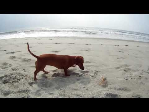Perros - Perrito juega con cangrego en la playa