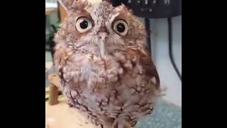 Cute Owl Almost Faded Away While Being Petted
