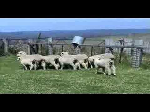 painfree lambs 5-6 hours after modern humane mulesing