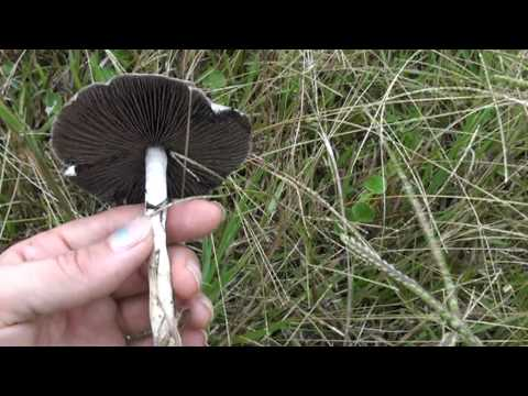 Psilocybin Cubensis mushrooms- examples in situ - part 2