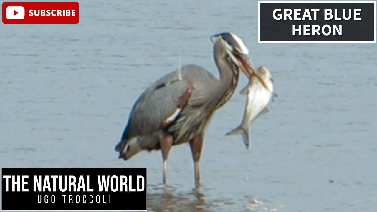 Great blue heron eats huge fish youtube for What fish eat
