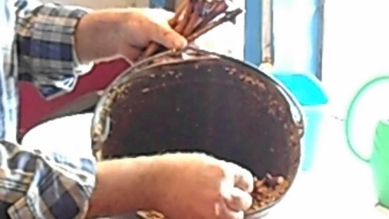 Выращивание винограда черенками в опилках 36