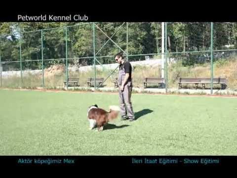 Aktör köpeğimiz Max, eğitmeni Ali Yeşilırmak ile show ve ileri itaat eğitiminde