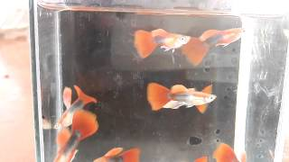 Big blue guppy farm clip.1 Half black red tail clip by Micky Red Tail
