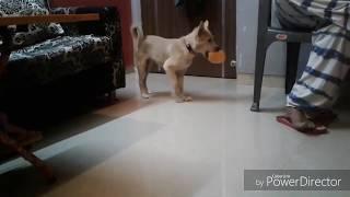 Shinzo funny dog won't let his duck go...