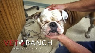 Bulldog Can't See, But Then....... by : Vet Ranch