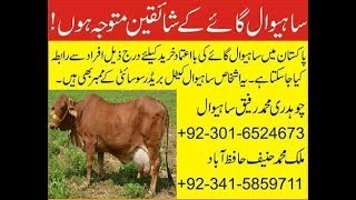 Sahiwal cow price | Sahiwal cow benefits | Sahiwal cow for sale | dairy queen