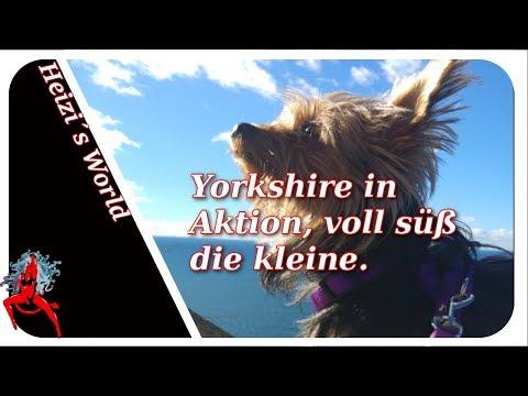 Yorkshire in Aktion sie ist so süß - Tiere | Die Heizerbraut