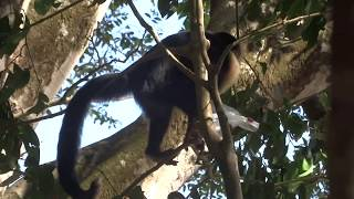 Funny monkeys stealing things from tourists in Manuel Antonio, Costa Rica