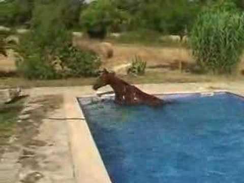 たまにはクールダウンも必要?!プールで泳ぐ馬