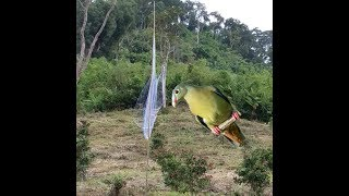 Bẫy chim cu _ lưới bẫy chim_không ngờ bắt được nhiều chim cu xanh vậy