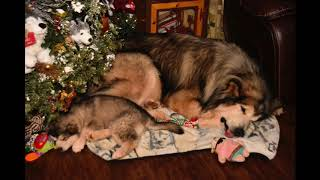 Giant Alaskan  Malamutes - Alaskan Malamutes Puppy Ready For Christmas,Video and Photo