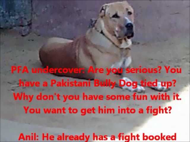 Bully Dog fighting ring busted in Gurgaon NCR by PFA on 23, 24, 25 Jan 2012