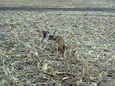 badass coon dogs 3 Video