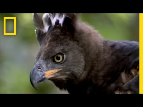 Eagle vs. Water Chevrotain