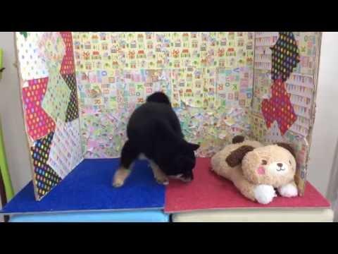 ペットショップCOO&RIKU 296244 柴犬