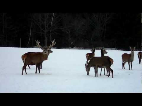 Breeder red stag and his mob of hinds.