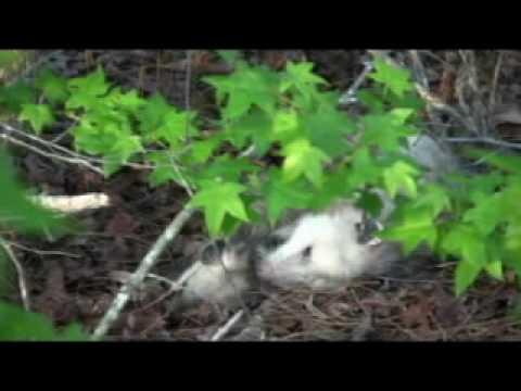 Possum Porn video