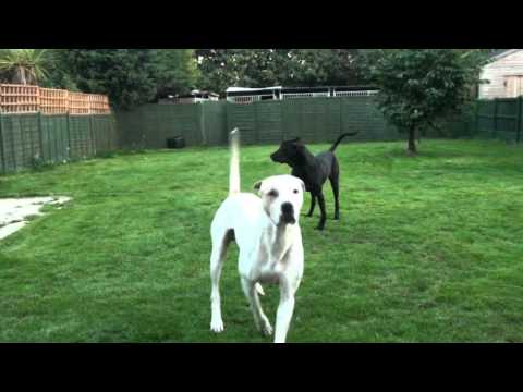 Breeding A Bully Kutta Blog massive Dogs Mating video