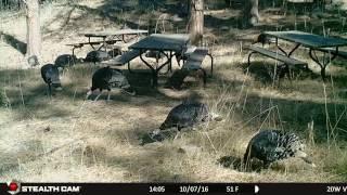 07oct16 2Va Turkeys